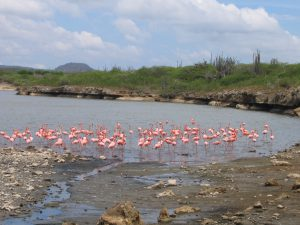 Bonaire Pink Flamingos