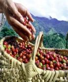 Jamaican Blue Mountain Coffee Credit: jamaican-culture.wikispaces.com CC BY-SA 3.0